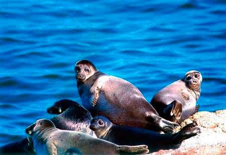 Мыс Хоргой - тюлени